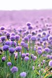 Lush blooming chives field Stock Photography