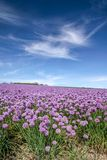 Lush blooming chives field Royalty Free Stock Photo