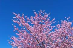 Lush blooming Japanese Cherry Royalty Free Stock Photo