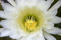 Lush Full Frame Cactus Flower Blooming in White and Yellow Detail Close Up stock photos