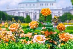 Lush blooming orange roses in rose garden. Volksgarten(people's park) in Vienna, Austria. City, green, background, europe, flower, nature stock images