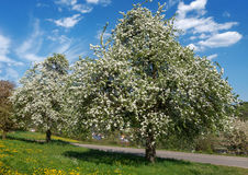 Lush blooming pear trees Stock Image