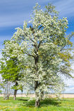 Lush blooming tree under blue sky Stock Image