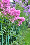 Flower fence. Lush blossoms of pink and purple  phlox flowers Stock Images