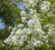 Lush branch covered with white flowers. Spring flowering trees in the garden. Fresh flowers background or wallpaper royalty free stock image