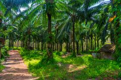 Lush branched palm trees on a sunny day on a coconut farm in Thailand stock photo