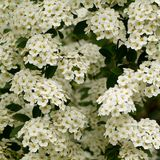 White spiraea flowers on a branch. Lush branches of spiraea with inflorescences of small white flowers royalty free stock photos