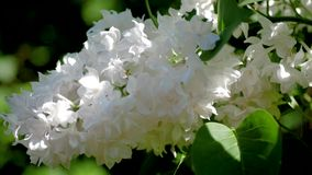 Lush bud of lilac with white flowers in the sun rays through the leaves. Lush bud lilac bush with white flowers blooms in the spring in the park. The sun rays stock footage