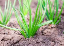 Lush bunches of green onions growing in the garden close-up royalty free stock photography