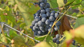 Lush bunches of wild grapes. stock video footage