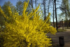 Lush bush of blooming Forsythia Intermedia growing in the park. Lush bush of blooming Forsythia Intermedia covered with bright yellow flowers growing in the park stock images