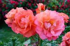 Lush bush of bright pink roses on a background of nature. Flower garden Stock Photo
