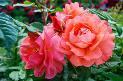 Lush bush of bright pink roses on a background of nature. Flower garden. Stock Image