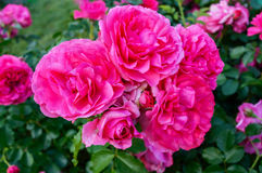 Lush bush of bright pink roses on a background of nature. Flower garden. Stock Images