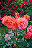 Lush bush of bright pink roses on a background of nature. Flower garden. Royalty Free Stock Photo