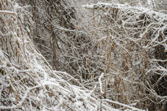 Lush bush. Covered with snow Royalty Free Stock Photos