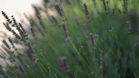Lush bushes of lavender. Close up view stock footage