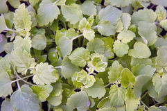 Lush catnip plant fills frame Stock Image