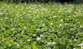 Lush clover field and green grass Stock Photos