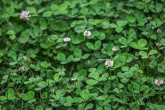 Lush clover field. natural background texture. fresh spring gree Stock Photo