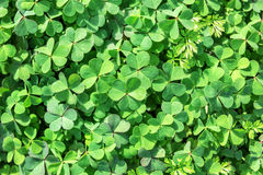 Lush clover texture. Lush green clover as a texture stock images