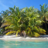 Lush coconut trees on the beach. Lush coconut trees on a tropical sandy beach with  turquoise waters Royalty Free Stock Photo