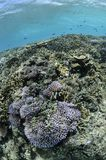 Lush Corals Thriving in Tropical Waters. Of Miyakojima, Okinawa Stock Photo