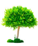 Lush deciduous tree isolated Royalty Free Stock Photos