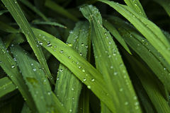 Lush droplets. The cool rainy summer day captured in the raindrops suspended on lush green foliage, creating beautiful contrast; with sunlit leaves standing out Stock Image