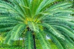 Lush dwarf palm tree stock photography