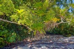 Lush epiphytes Bromeliads Royalty Free Stock Image