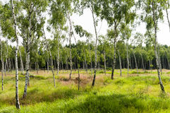 Lush european countryside birch tree forrest in summer Stock Photos