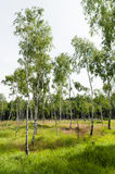 Lush european countryside birch tree forrest in summer Stock Photography