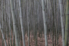 Lush, exotic, fresh green bamboo Royalty Free Stock Photo