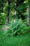 Lush fern Royalty Free Stock Photography