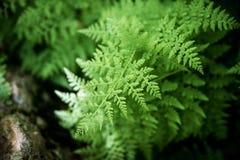 Lush ferns. Stock Photography
