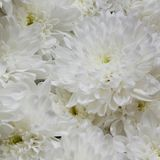 Lush festive bouquet of white chrysanthemums. Wonderful gift bouquet of white chrysanthemums royalty free stock images