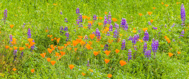 Lush Field of California Wildflowers. Verdant field of Califoria poppies and lupine in cinematic crop Stock Image