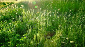 Lush Field Close up Outdoors. A tranquil scene in the countryside. Shot HD 1080 stock video