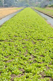 A lush field of lettuce farm must be irrigated. Stock Photo
