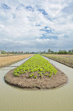 A lush field of lettuce farm must be irrigated. Royalty Free Stock Photo