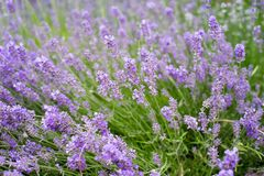 A lush field of purple flowered plants stock photo