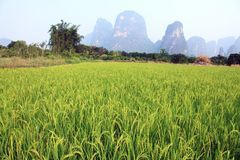 Lush Field of Rice stock photography