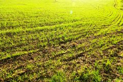 Lush fields. Lush green field at sunset Stock Photography