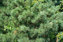 Lush fir needle closeup Stock Photo