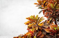 Lush plant of different colors near white wall. Royalty Free Stock Images