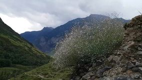 Lush flowering Bush on the background of rocks and mountains in the Altai Republic in Russia. Summer travel. Hiking. In the mountains stock video