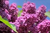 Lush flowering lilac purple Royalty Free Stock Photos