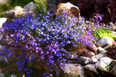 The lush flowering of Lobelia in rockeries. Autumn Royalty Free Stock Photo