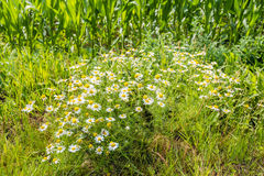 Lush flowering and spicy fragrant wild chamomile plants at the e Royalty Free Stock Photography